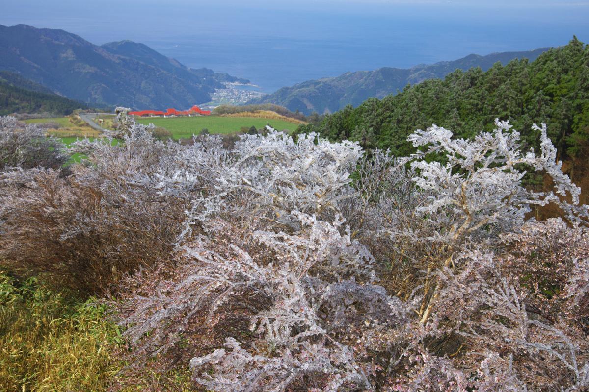 (入選)凍る米桜