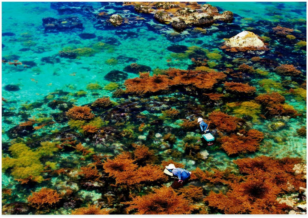 (入選)海藻を採る